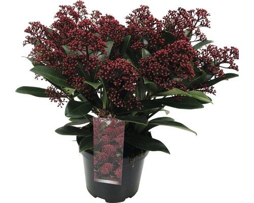 Japanische Blütenskimmie FloraSelf Skimmia japonica ''Rubella'' H 15-20 cm Co 1,5 L