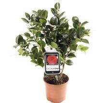 Camélia du Japon FloraSelf Camellia japonica ''Mix'' h 30-40 cm Co 1,5 l assorti-thumb-4