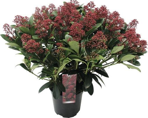 Japanische Blütenskimmie FloraSelf Skimmia japonica ''Rubella'' H 20-30 cm Co 3 L buschig