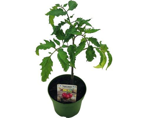 Tomate FloraSelf Bio Lycopersicum esculentum var. esculentum ''San Marzano'' pot Ø 9 cm