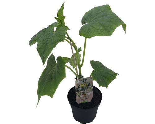 Concombre greffé FloraSelf Bio Cucumis sativa pot Ø 13 cm