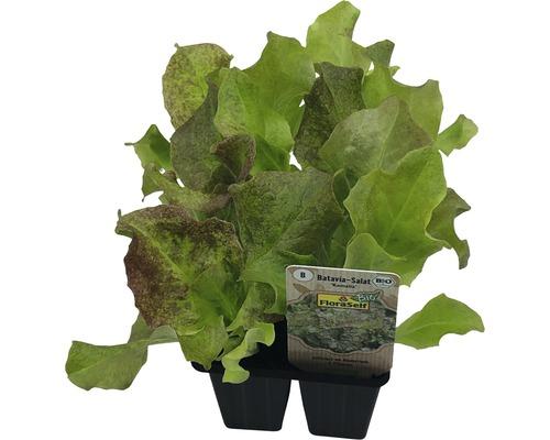 Salade Batavia FloraSelf Bio Letuca sativa pot Ø 6 cm lot de 6