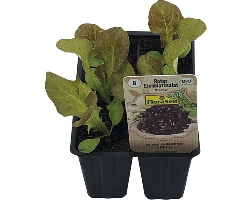 Laitue feuille de chêne FloraSelf Bio Letuca sativa ''Piro'' pot Ø 6 cm 6 plants-0