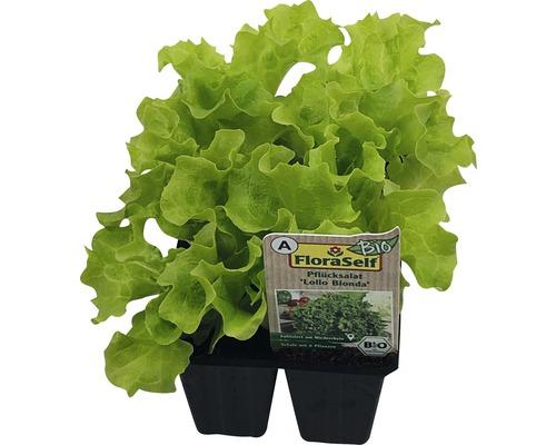 Lollo bionda FloraSelf Bio Letuca sativa pot Ø 6 cm lot de 6-0
