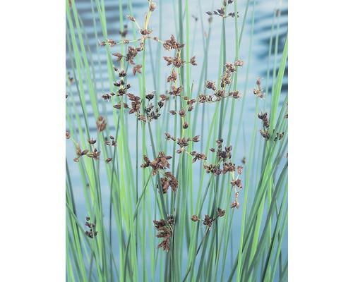 Scirpe aigu FloraSelf Scirpus lacustris H10-120cm Co 0,6L