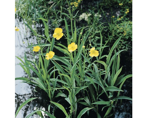 Renoncule FloraSelf Ranunculus lingua H 10-60 cm Co 0,6 L