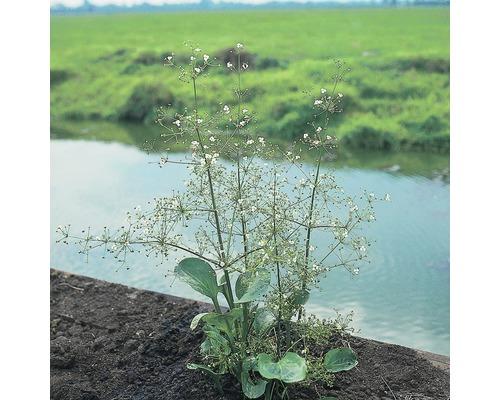 Plantain d''eau à feuilles rondes FloraSelf Alisma parviflora H10-80cm Co 0,6L