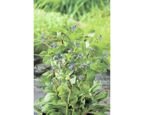 Véronique des ruisseaux FloraSelf Veronica beccabunga H10-20cm Co 0,6L