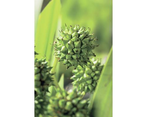Rubanier d''eau FloraSelf Sparganium erectum H10-100cm Co 0,6L