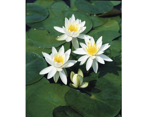 Nénuphar FloraSelf Nymphaea-Hybride ''Odorata Alba'' H10-20cm Co 1L