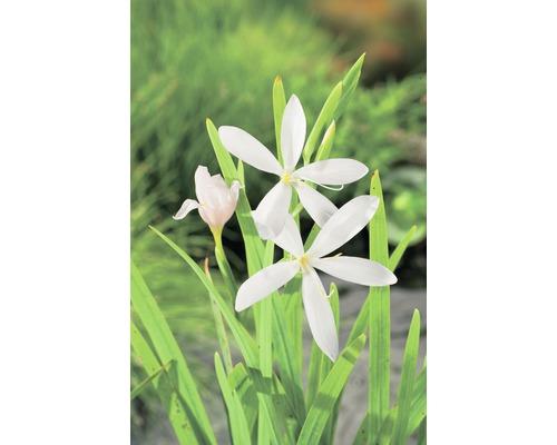 Glaïeul des marais FloraSelf Schizosylis coccinea ''Alba'' H20-50cm Co 0,6l