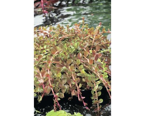 Rotala des Indes FloraSelf Rotala indica H5-15cm Co 1l