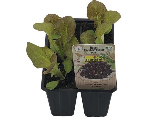 Laitue feuille de chêne FloraSelf Bio Letuca sativa ''Pasha'' pot Ø 6 cm lot de 6