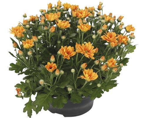 Chrysanthème FloraSelf Chrysanthemum indicum ''Jive Time'' pot Ø 23 cm