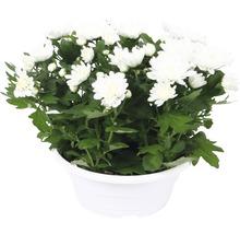 Chrysanthème FloraSelf Chrysanthemum indicum ''Runca'' pot Ø 23 cm-thumb-0