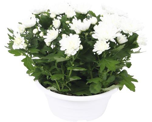 Chrysanthème FloraSelf Chrysanthemum indicum ''Runca'' pot Ø 23 cm-0