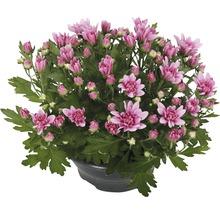 Chrysanthème FloraSelf Chrysanthemum indicum ''Fashion'' pot Ø 23 cm-thumb-0