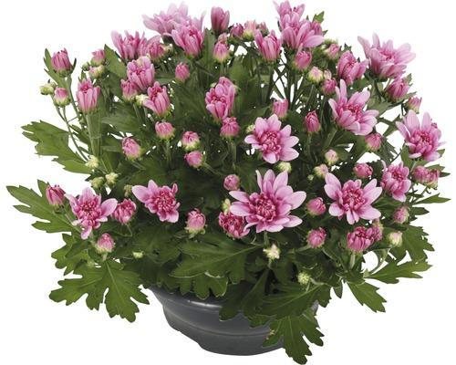 Chrysanthème FloraSelf Chrysanthemum indicum ''Fashion'' pot Ø 23 cm-0