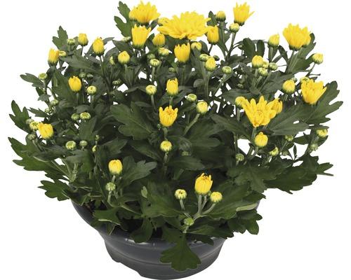 Chrysanthème FloraSelf Chrysanthemum indicum ''Tapas Time'' pot Ø 23 cm