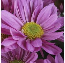 Chrysanthème FloraSelf Chrysanthemum indicum ''Fashion'' pot Ø 23 cm-thumb-1