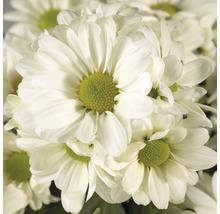 Chrysanthème FloraSelf Chrysanthemum indicum ''Runca'' pot Ø 23 cm-thumb-1
