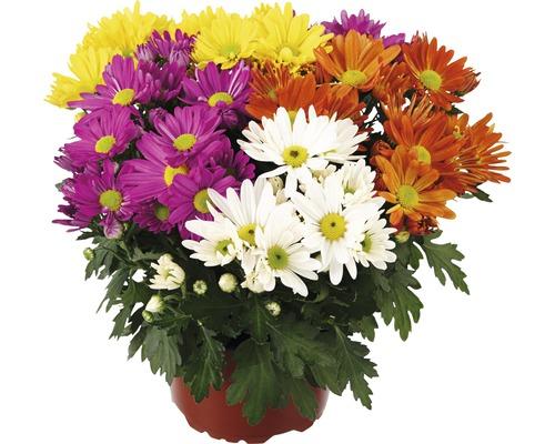 Mélange de chrysanthèmes FloraSelf Chrysanthemum indicum Mix pot Ø 23 cm