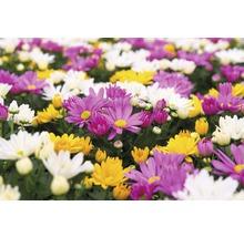 Chrysanthème FloraSelf Chrysanthemum indicum ''Carnaval'' pot Ø 12 cm-thumb-1
