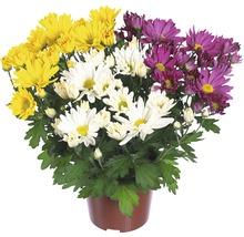 Chrysanthème FloraSelf Chrysanthemum indicum ''Carnaval'' pot Ø 12 cm-thumb-0