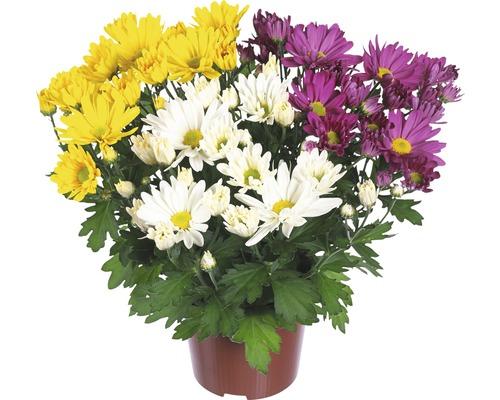 Chrysanthème FloraSelf Chrysanthemum indicum ''Carnaval'' pot Ø 12 cm