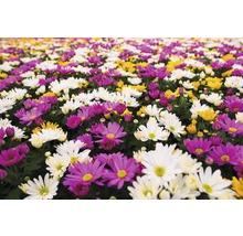 Chrysanthème FloraSelf Chrysanthemum indicum ''Carnaval'' pot Ø 12 cm-thumb-2