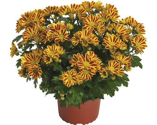 Chrysanthème FloraSelf Chrysanthemum indicum ''HoiHoi'' pot Ø 12 cm