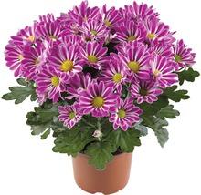 Chrysanthème FloraSelf Chrysanthemum indicum ''Artistic Armin'' pot Ø 12 cm-thumb-0