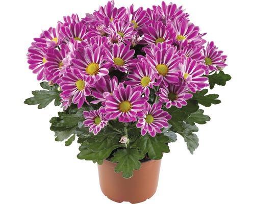 Chrysanthème FloraSelf Chrysanthemum indicum ''Artistic Armin'' pot Ø 12 cm