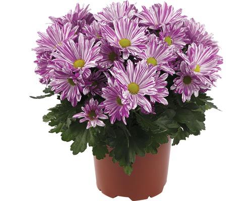 Chrysanthème FloraSelf Chrysanthemum indicum ''Artistic Rosy'' pot Ø 12 cm