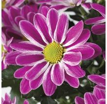 Chrysanthème FloraSelf Chrysanthemum indicum ''Artistic Armin'' pot Ø 12 cm-thumb-1