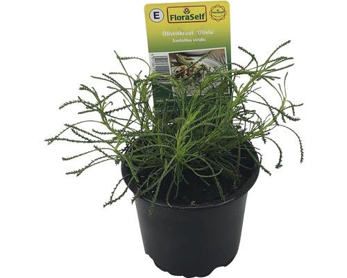 Santoline verte FloraSelf Santolina viridis ''Olivia'' pot Ø 12 cm