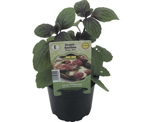 Basilic arbustif FloraSelf Ocimum hybrida ''Magic Blue'' pot Ø 12 cm