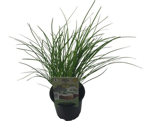 Ciboule de Chine FloraSelf Allium tuberosum ''Neko'' pot Ø 12 cm