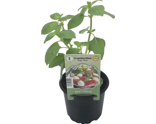 Basilic arbustif FloraSelf Ocimum hybrida ''Magic White'' pot Ø 12 cm