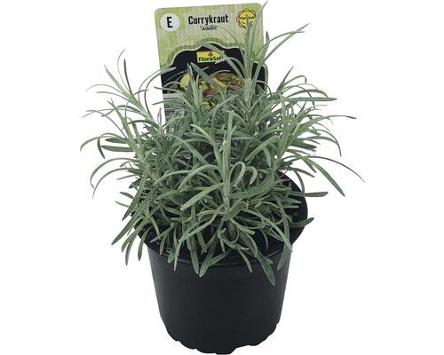 Immortelle d''Italie FloraSelf Helichrysum italicum ''Aladin'' pot Ø 12 cm