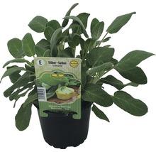Sage FloraSelf Salvia officinalis ''Culinaria'' pot de 12 cm de Ø-thumb-1