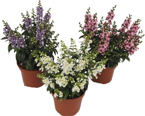 Angelonia augustifolia FloraSelf ''Serenita'' H20-25cm pot Ø12cm