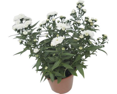 Aster à feuilles lisses FloraSelf Aster novi-belgii ''Showmaker'' H20-25cm pot Ø12cm
