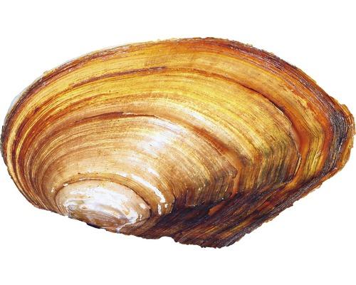 Moule d''étang - Anodonta cygnaea