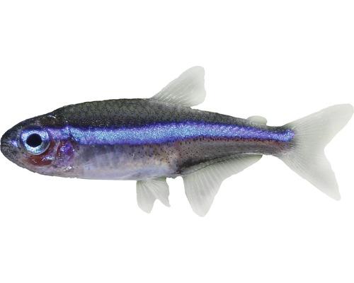 Néon bleu