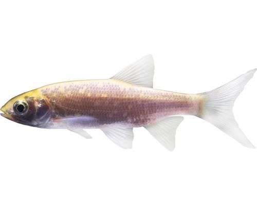 Poisson ide mélanote - Leuciscus idus