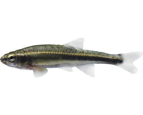 Poisson vairon - Phoxinus phoxinus