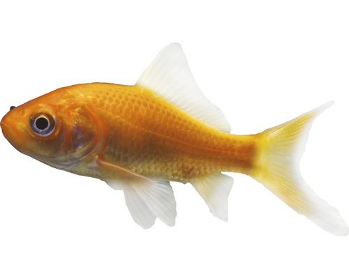 Petit poisson rouge hornbach luxembourg for Aquarium poisson rouge petit