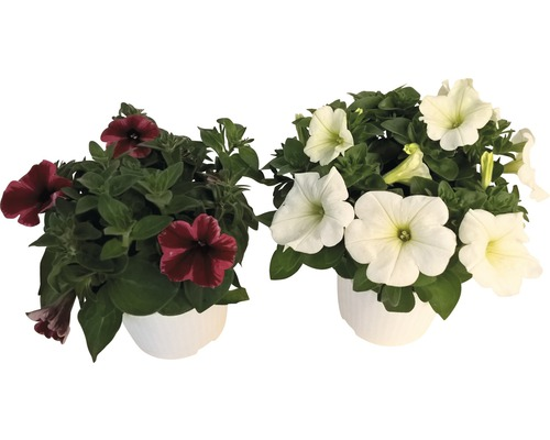 Pétunias retombants Cultivars pot Ø 12 cm assorti