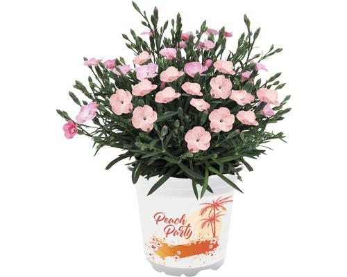 Œillet ''Peach Party'' FloraSelf pot Ø10,5cm